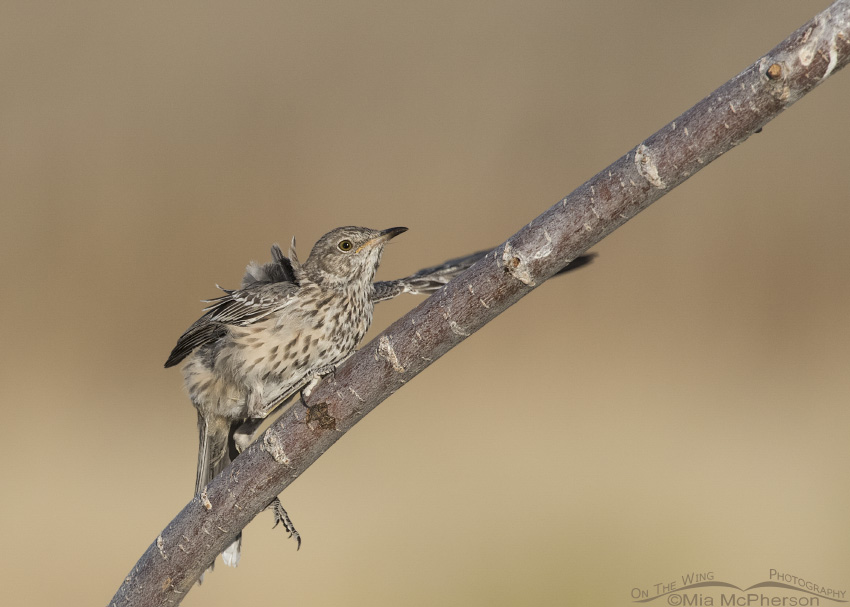 An immature Sage Thrasher fluttering on a branch