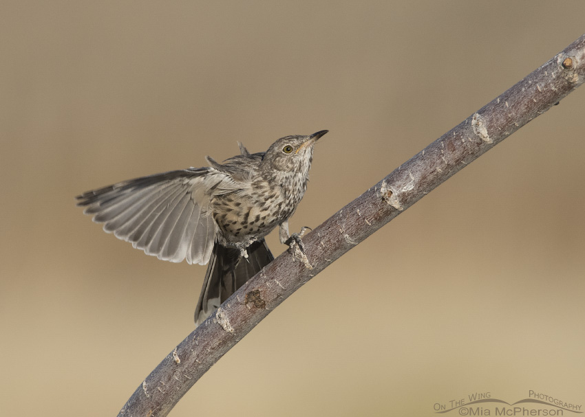 An immature Sage Thrasher fluttering its wings on a branch