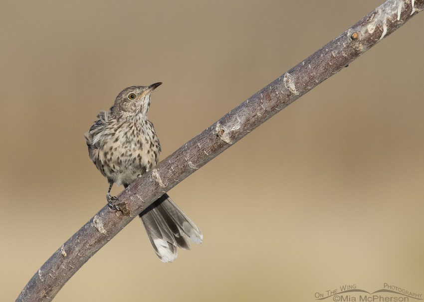 An immature Sage Thrasher perched on a branch