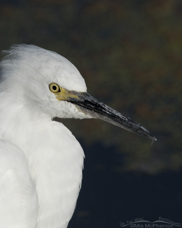 A Snowy Egret Close Up