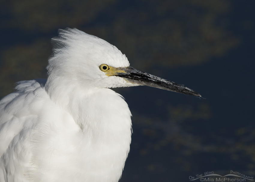 Snowy Egret Portrait at Farmington Bay