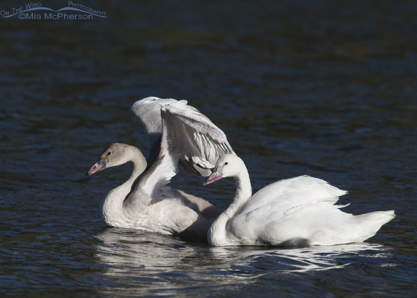 Trumpeter Swan cygnets in late afternoon light