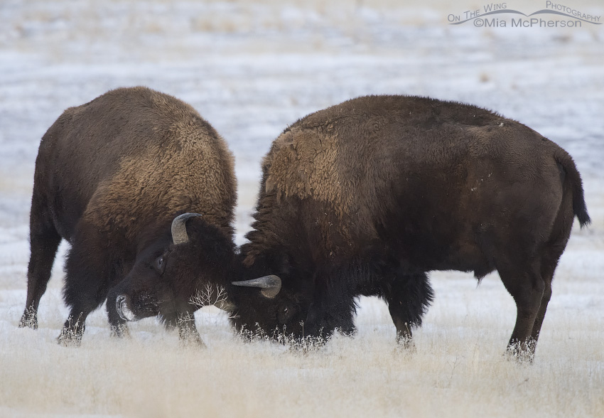 Bison bulls fighting in the snow