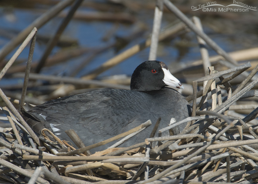 Nesting American Coot at Bear River Migratory Bird Refuge