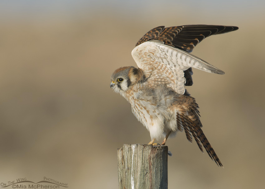 A Female American Kestrel lifts her wings