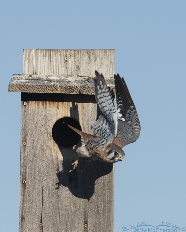 Male American Kestrel Taking off from a nest box