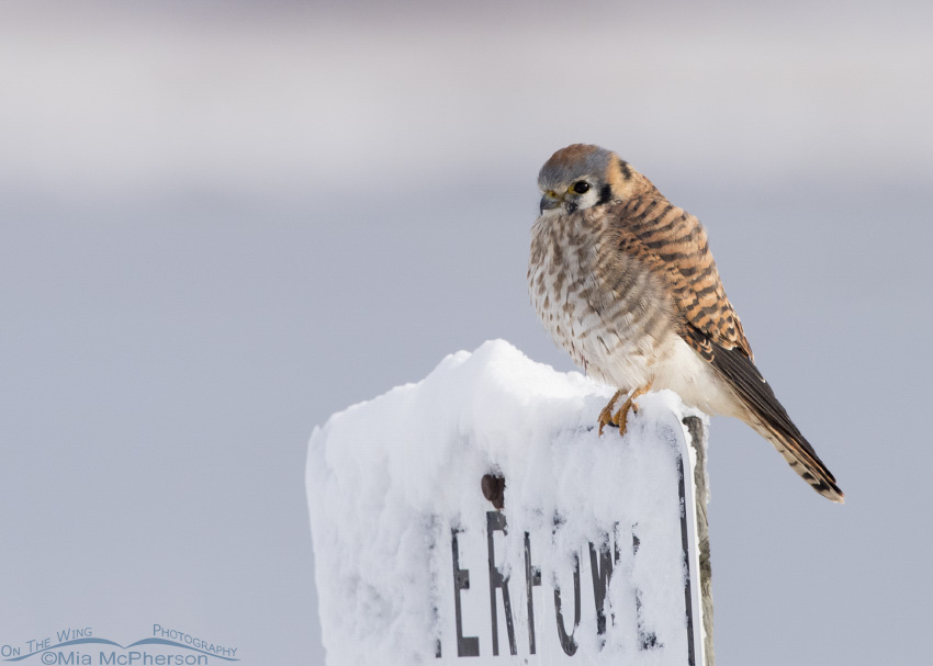 Female American Kestrel on a snowy Waterfowl sign
