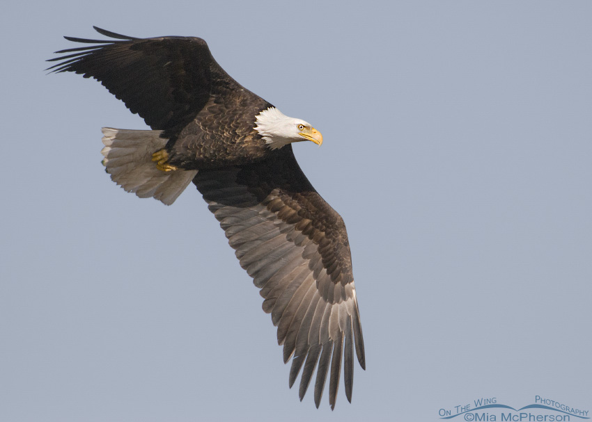 Adult Bald Eagle in flight on a cloudless sky