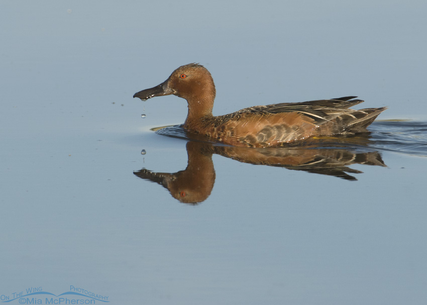 Drake Cinnamon Teal on still water