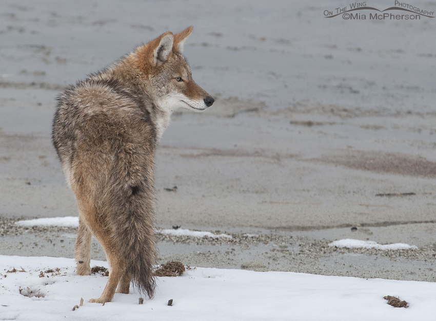 Coyote and snow along the causeway