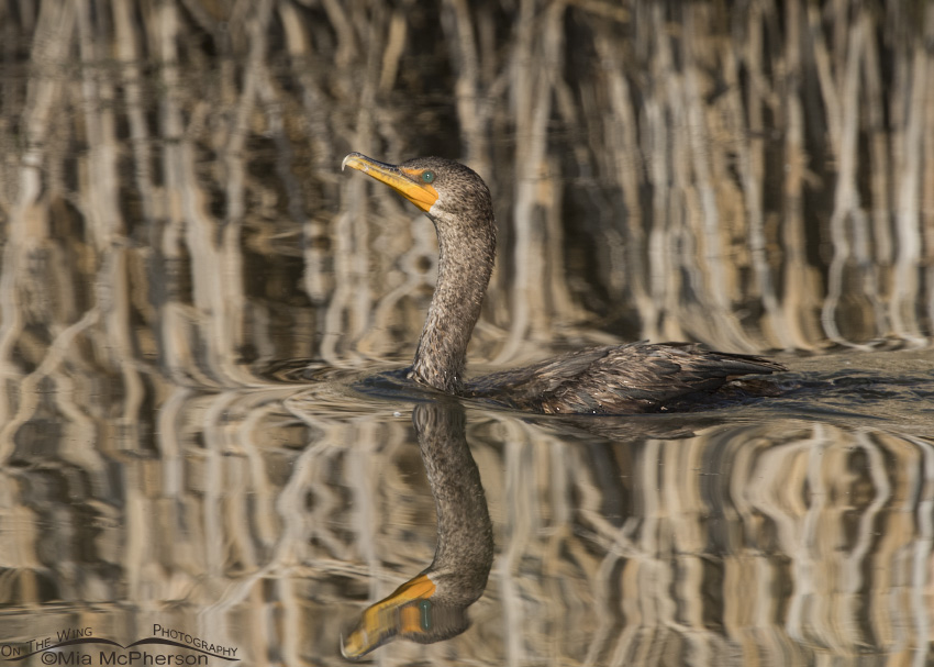 Double-crested Cormorant and Phragmites Reflections