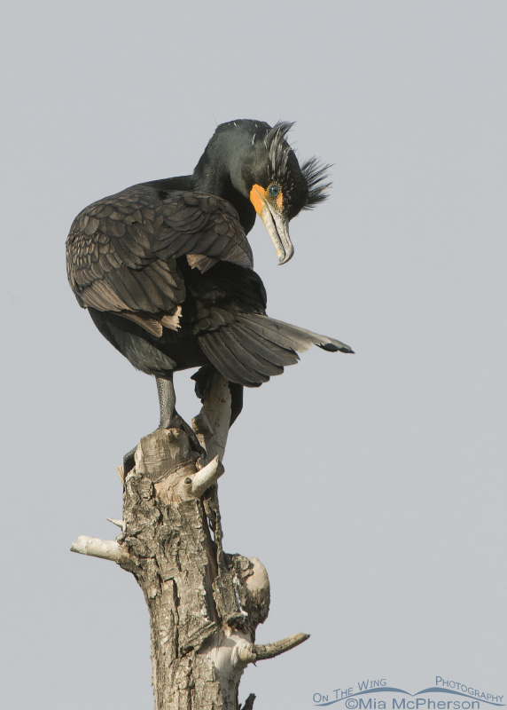 Adult Double-crested Cormorant