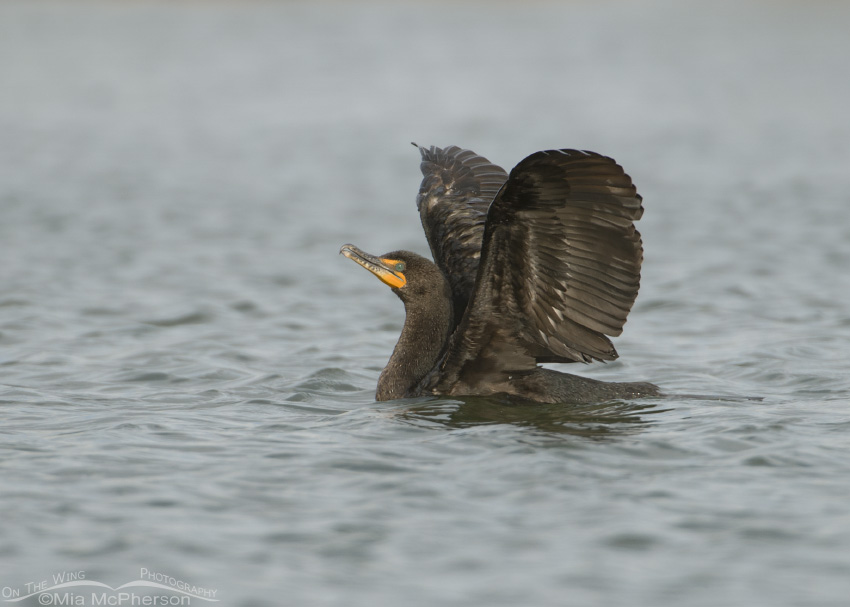 Cormorant flapping wings