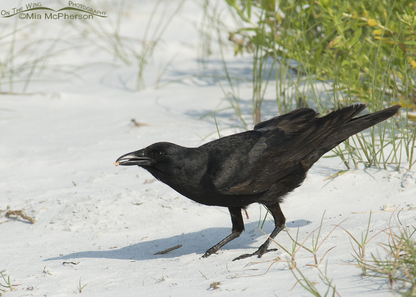 Fish Crow on the beach