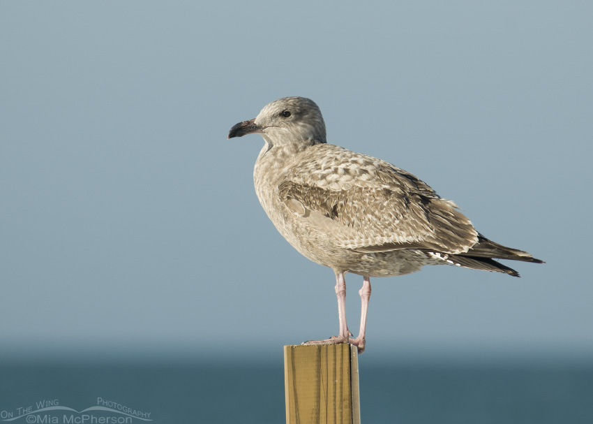 Juvenile Herring Gull perched on post