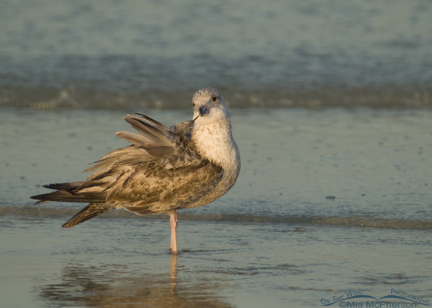 Young Herring Gull preening just after sunrise