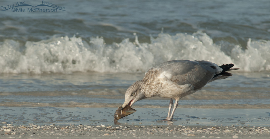 Herring Gull and Pen shell on the shore of the Gulf