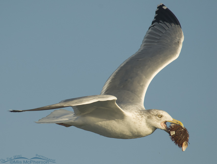 Herring Gull with Urchin