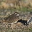 A Killdeer in morning light