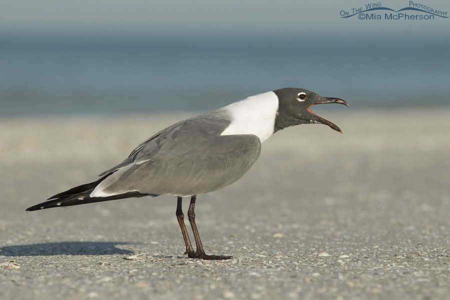 Laughing Gull calling