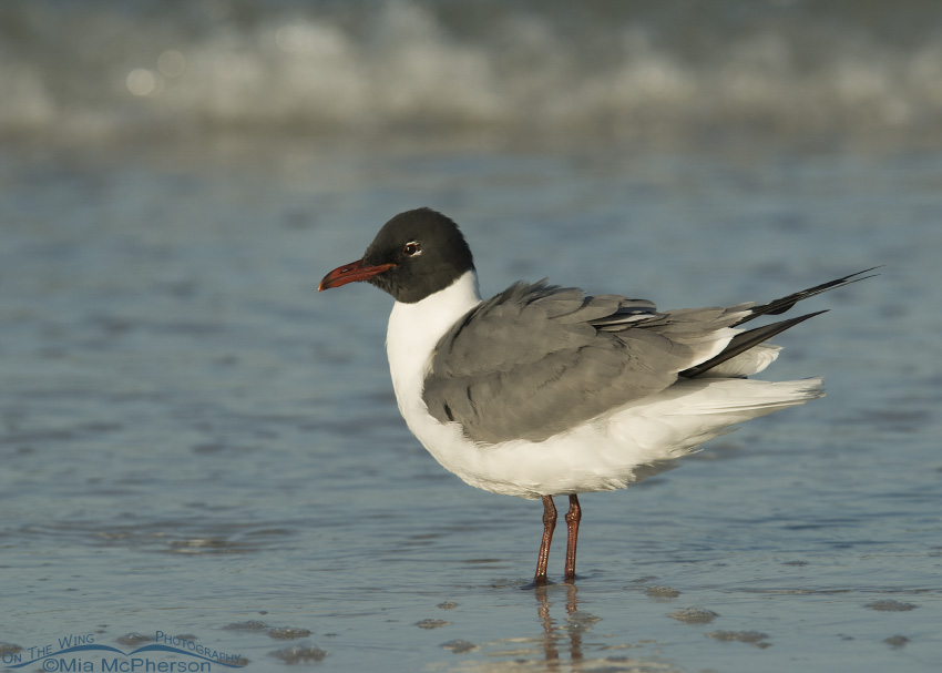 Fluffed up Laughing Gull