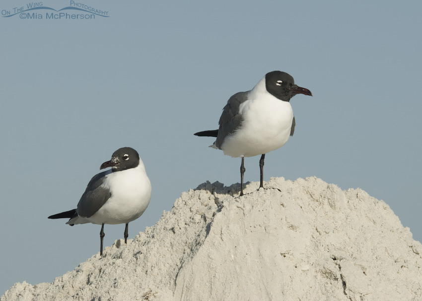 A pair of Laughing Gulls resting on a mound of sand