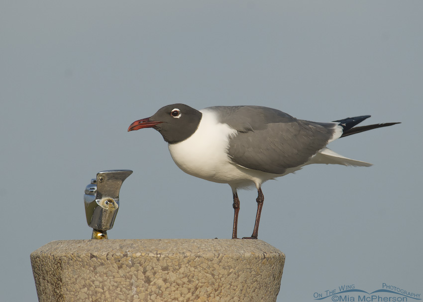 Laughing Gull at fountain