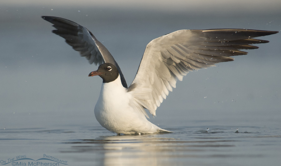 Bathing Laughing Gull with wings up