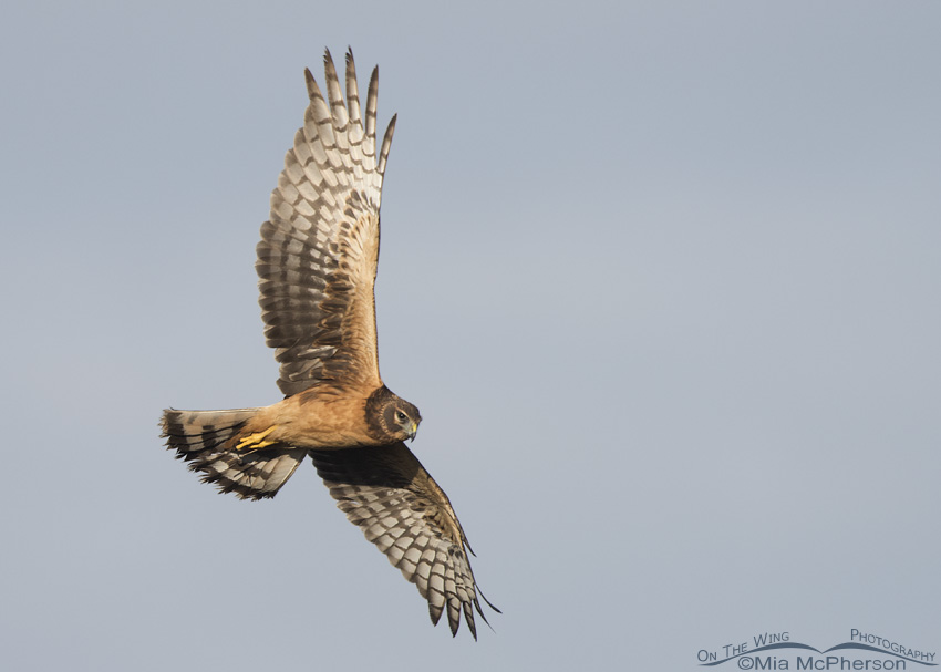 Juvenile Northern Harrier in flight over a marsh