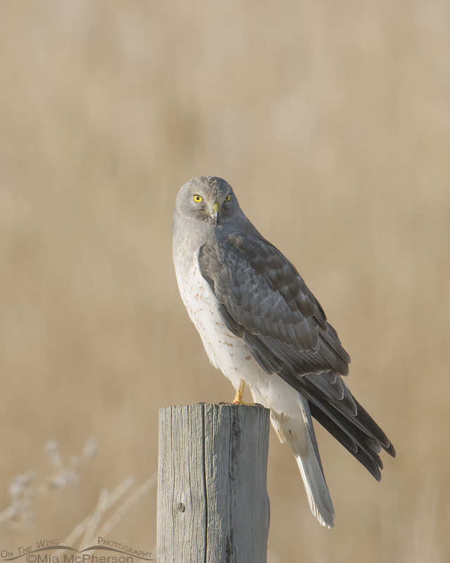 Perched male Northern Harrier