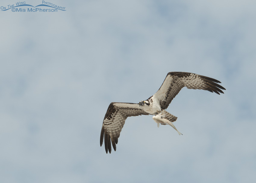 An Osprey and a Whiting over Fort De Soto