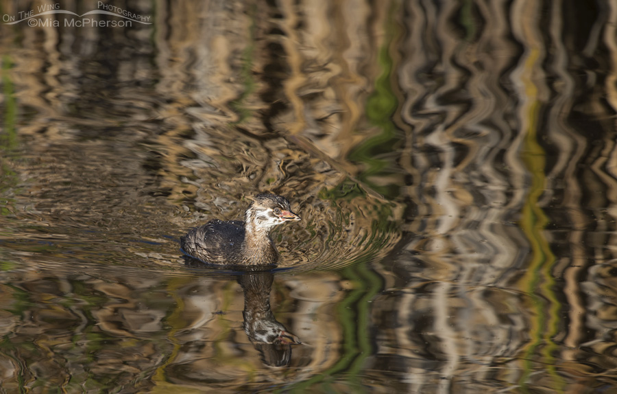A juvenile Pied-billed Grebe with reflections of Autumn