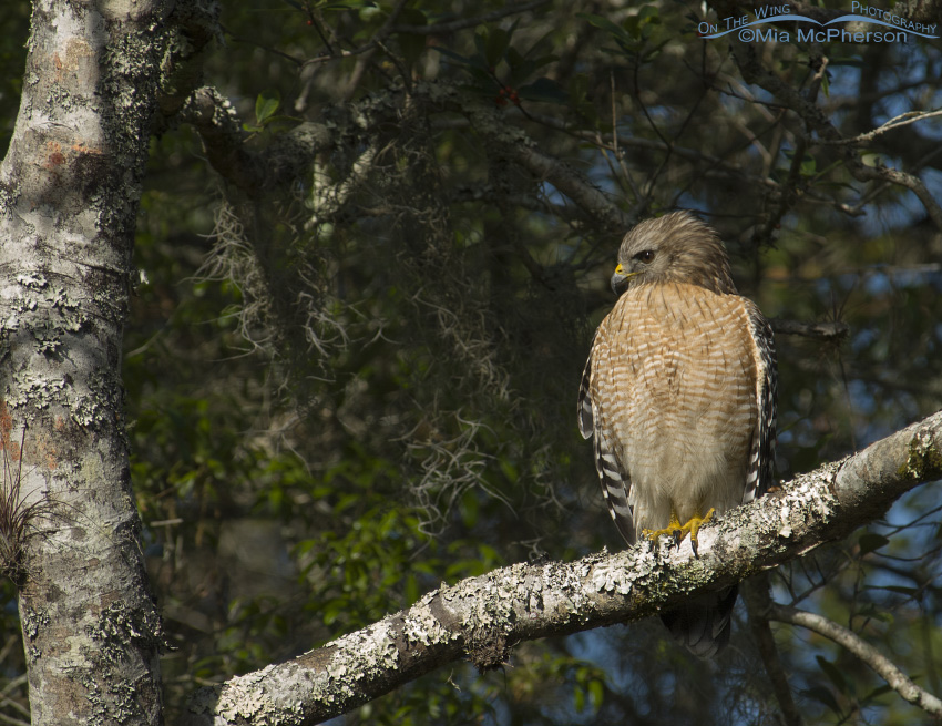 Perched Red-shouldered Hawk adult