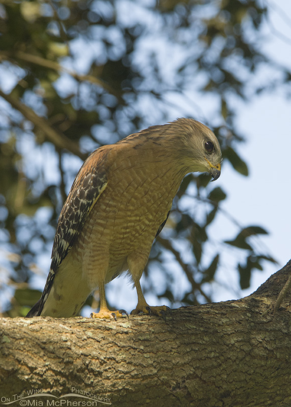 Red-shouldered Hawk at sunset