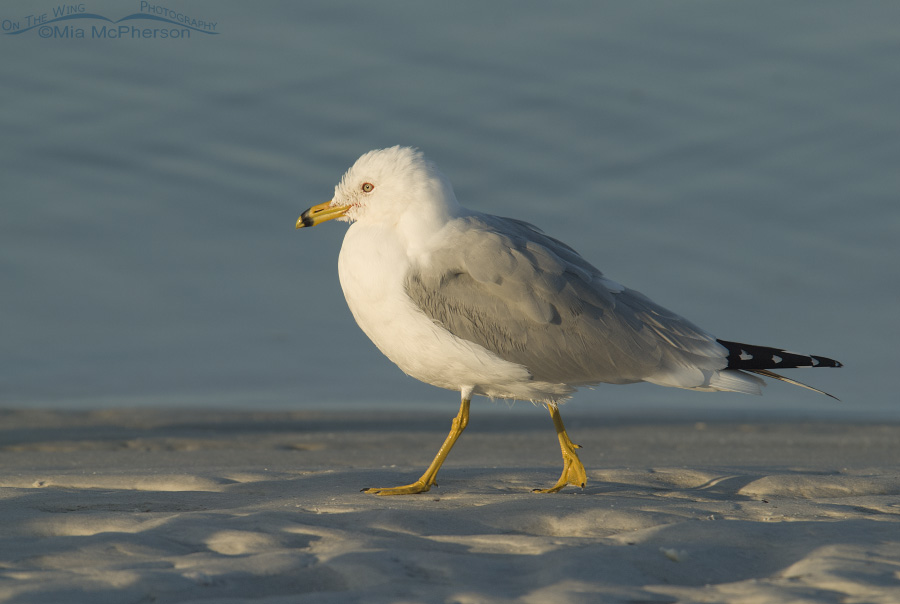 Ring-billed Gull taking an early morning stroll