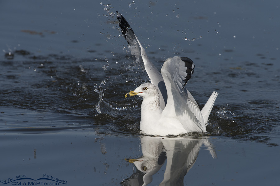 Ring-billed Gull after diving at a Clark's Grebe with prey