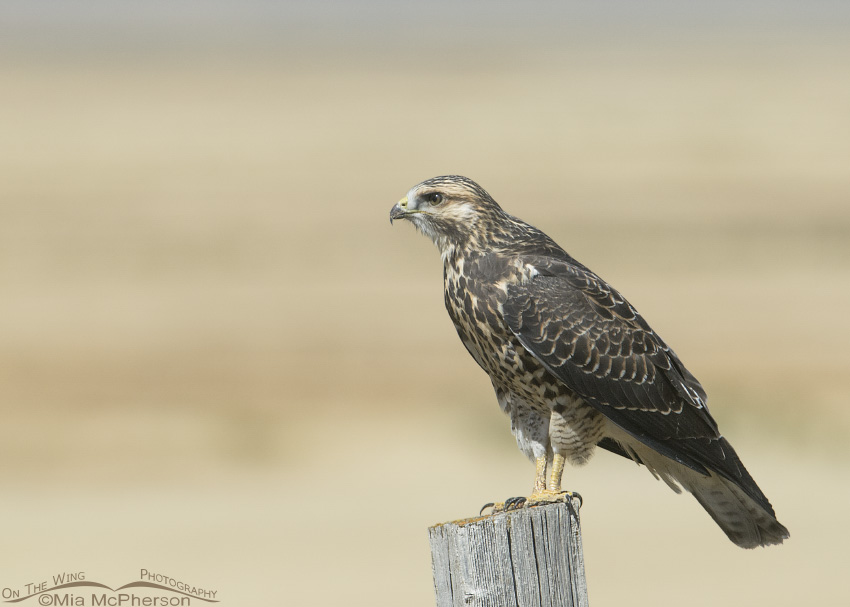 Swainson's Hawk juvenile on old fence post