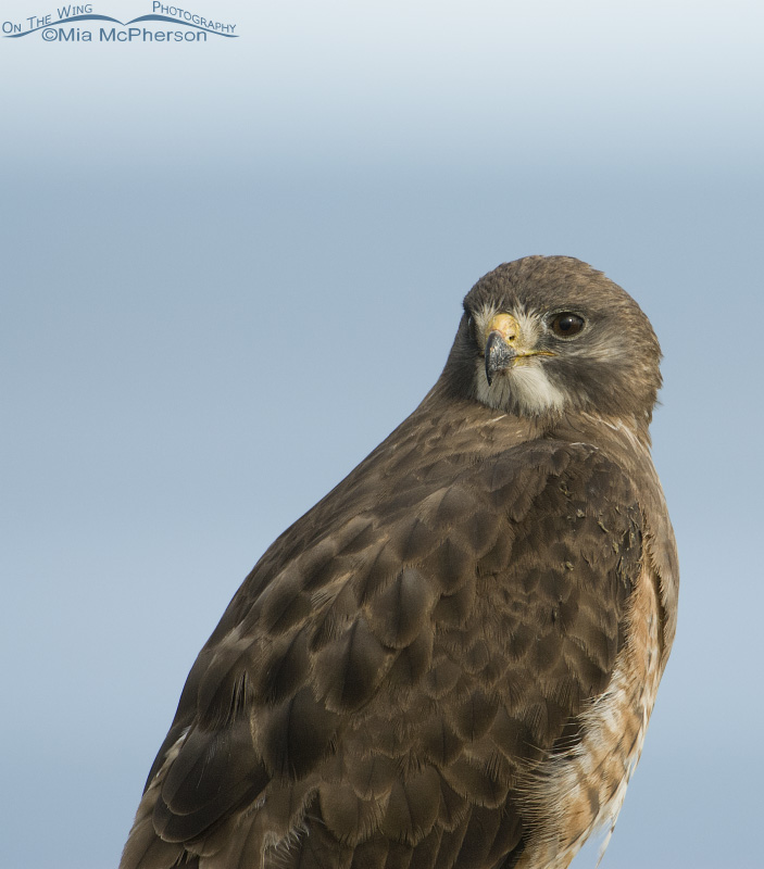 Adult Swainson's Hawk portrait with the Great Salt Lake in the background