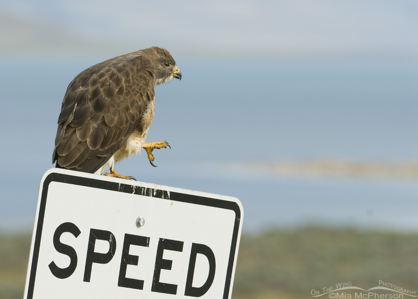 Adult Swainson's on a speed limit sign