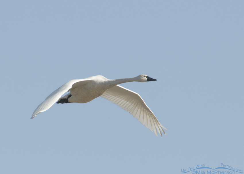 An adult Tundra Swan in flight over Bear River Migratory Bird Refuge