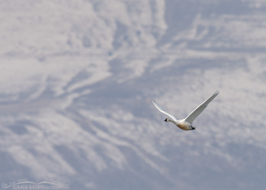 Tundra Swan with the Promontory Mountains in the background