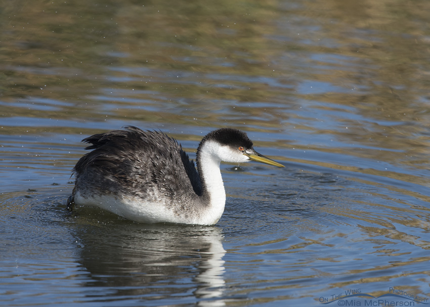A Western Grebe settling back onto the water at Farmington Bay