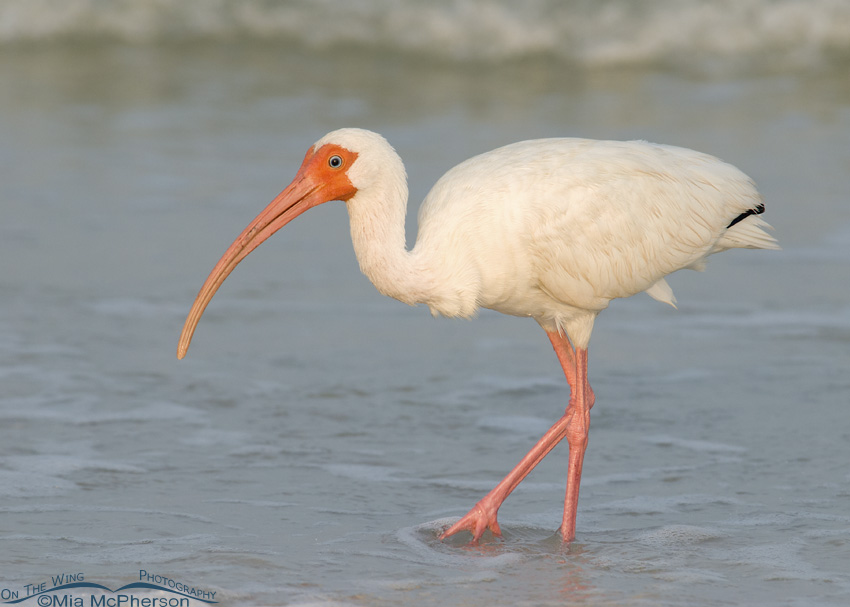 White Ibis on the Gulf Coast
