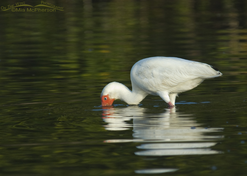 An adult White Ibis feeding in dark green water