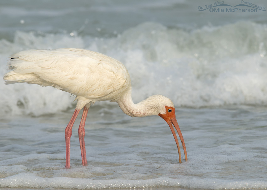 White Ibis on the shoreline of Fort De Soto