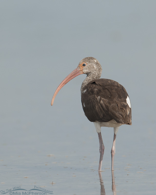 Juvie Ibis from the back