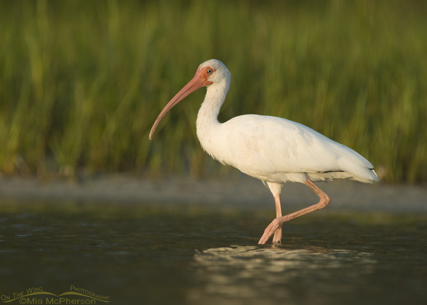 White Ibis in the light of the setting sun