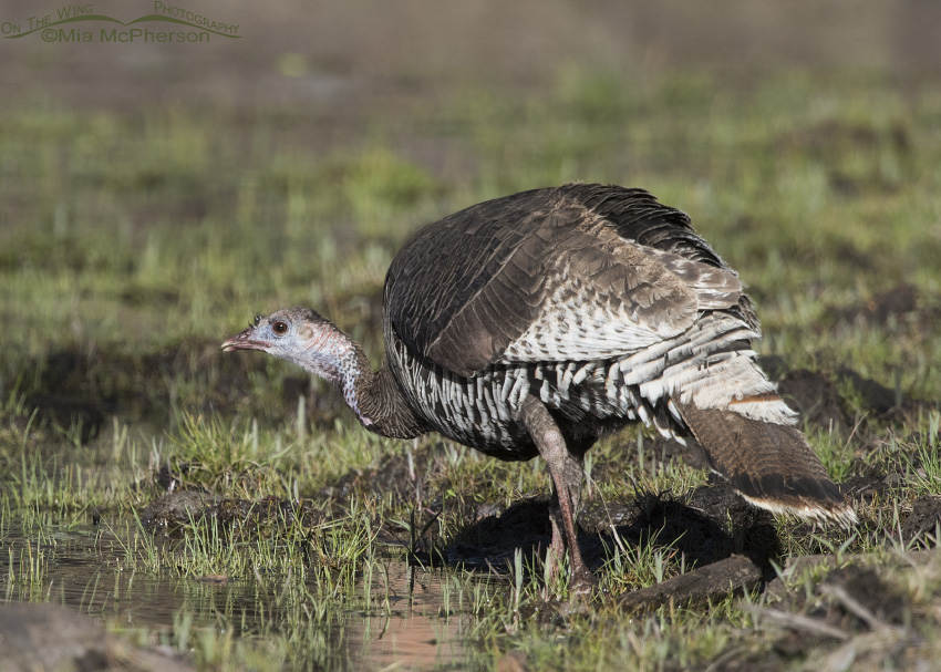 A Wild Turkey hen at a small pond