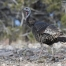 Stansbury Mountain Wild Turkey