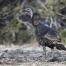 Wild Turkey in the Stansbury Mountains